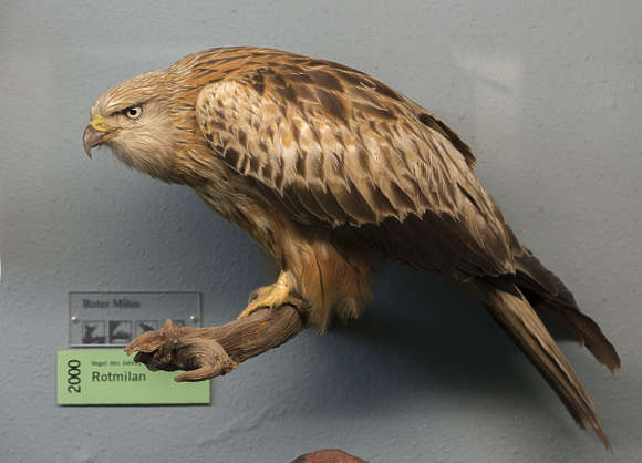 stuffed bird of prey
