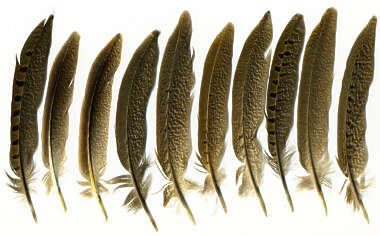 feathers brown Pheasant feather