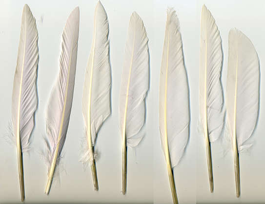feather duck white feathers