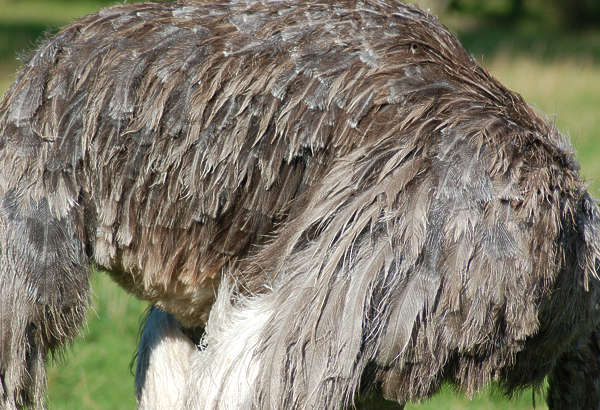 ostrich closeup feather feathers