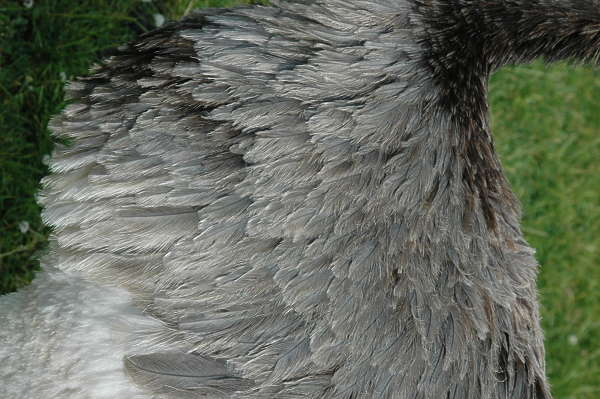 ostrich bird feather feathers animal