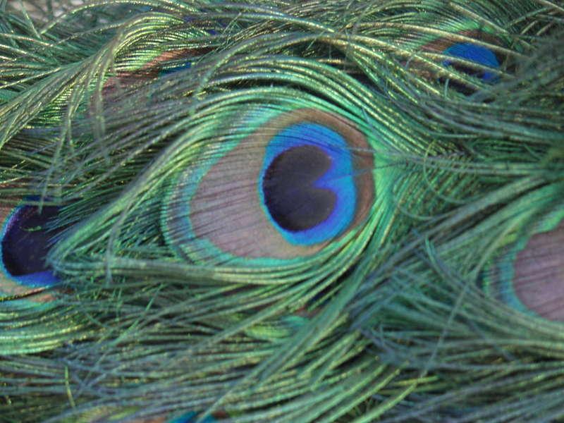 Peacock0009 Free Background Texture Animal Bird