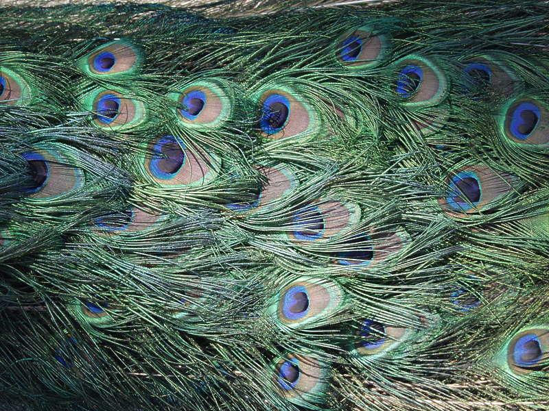 Peacock0007 Free Background Texture Animal Bird