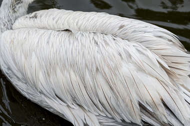 pelican bird feathers