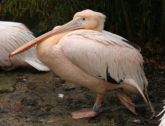 bird animal pelican pink