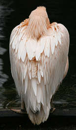 bird animal pelican pink feather feathers