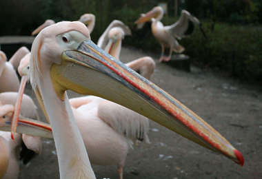 bird animal pelican pink head