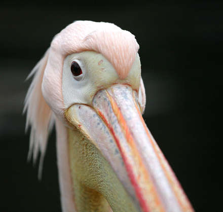 bird animal pelican pink head closeup eye