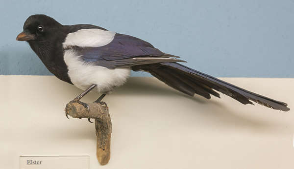 stuffed bird magpie