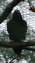 animal bird crow feathers feather