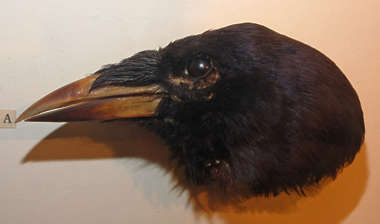 crow bird head beak