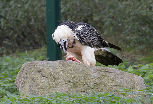 vulture bearded