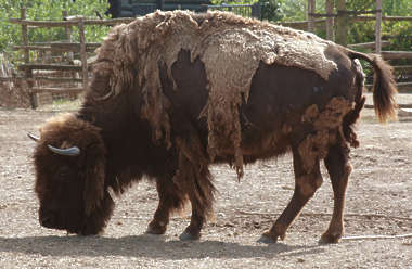 animal bison fur