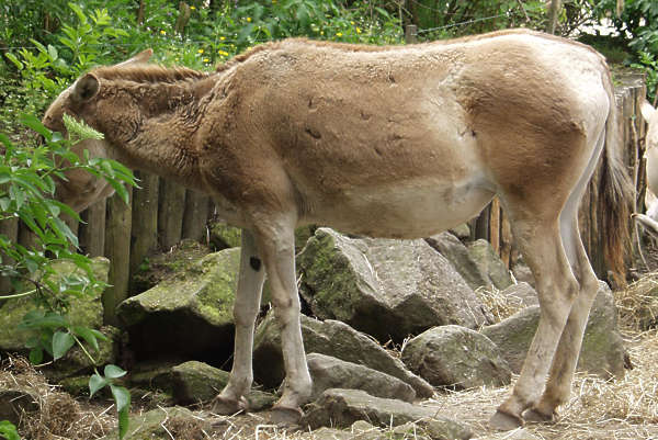 animal hooved donkey fur