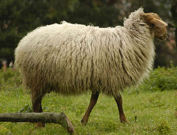 animal hooved sheep fur