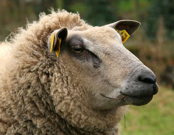 sheep head animal hooved