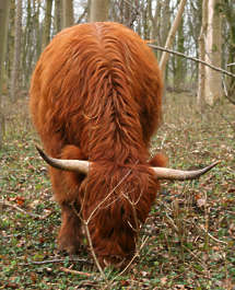 animal cow hooved fur highland