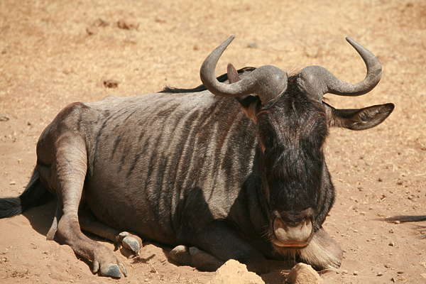 animal cow ox buffalo