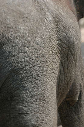 animal elephant skin wrinkles closeup
