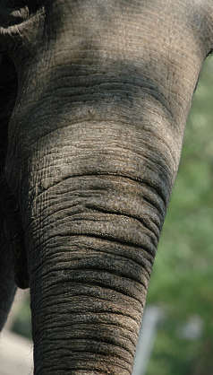 animal elephant skin trunk