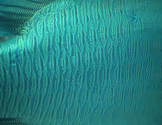 fish tropical scales closeup