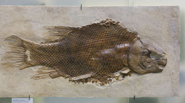 fossil fossils fish prehistoric
