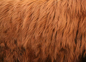 animal fur highland cow