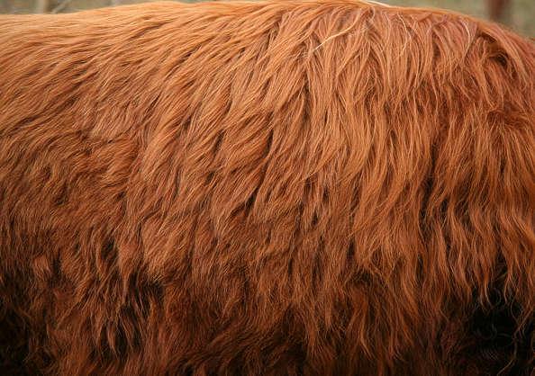 Fur0018 Free Background Texture Animal Fur Highland