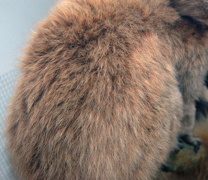 Fur0020 Free Background Texture Fur Hair Hairs Monkey