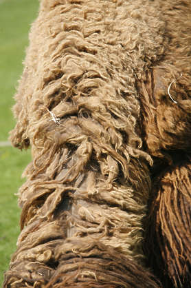 camel fur hair hairs