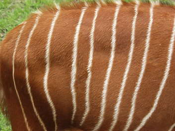 animal fur hair hairy hairs stripe
