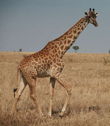 animal giraffe