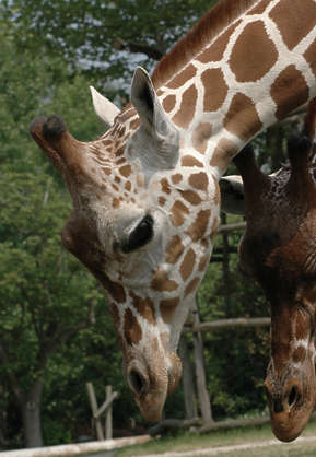 animals giraffe