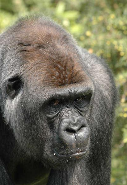 Gorilla0004 Free Background Texture Animal Gorilla