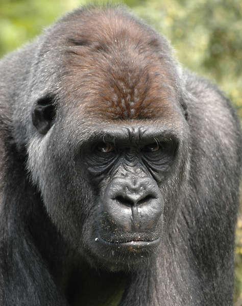 Gorilla0008 Free Background Texture Animal Gorilla Brown Dark Gray Grey Desaturated