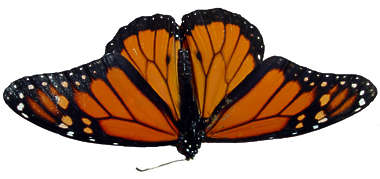 butterfly animal insect monarch