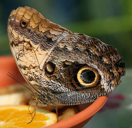 insect butterfly owl