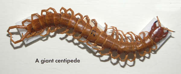 insect centipede giant