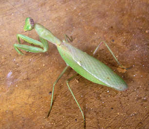 insect grasshopper