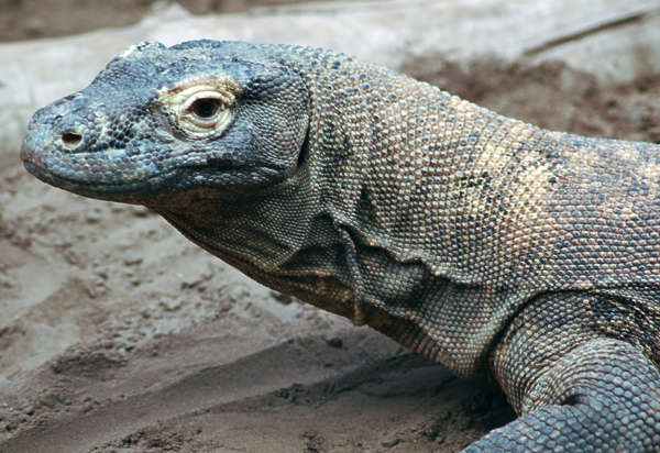 reptile lizard scales komodo dragon