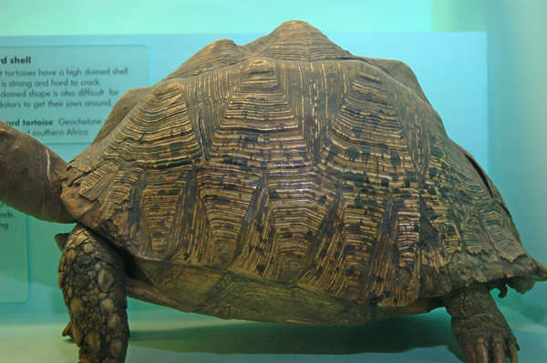 turtle shell reptile