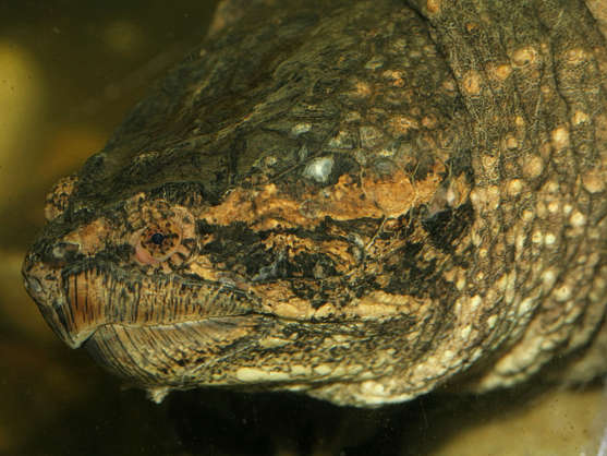 turtle alligator head