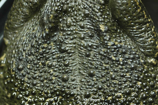 Reptiles0003 Free Background Texture Toad Skin Closeup
