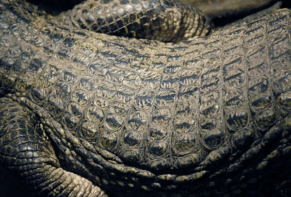 crocodile aligator skin closeup scales