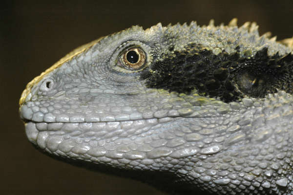 lizard iguana scales skin head
