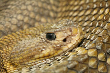 snake scales head
