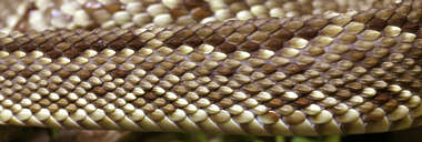 snake scales