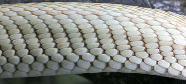 snake reptile scales scale closeup
