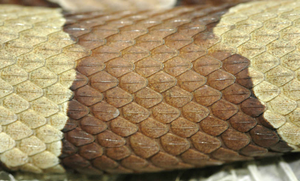 Reptiles0025 Free Background Texture Snake Reptile