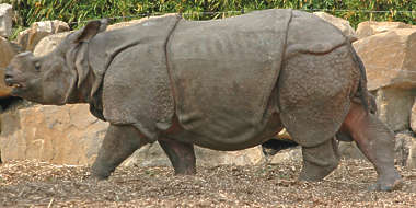 animal rhinoceros rhino